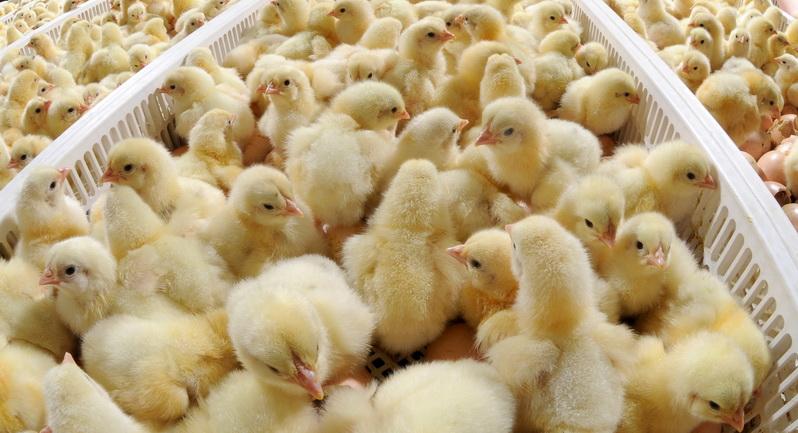 «VIP ФЕРМА» — все необходимое для птицеводства, от лучших мировых производителей.