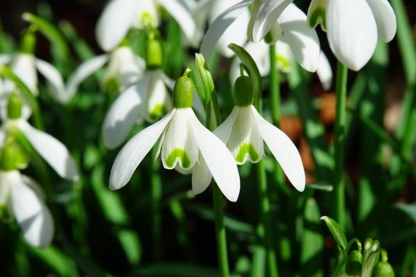 В Смоленске в саду Блонье высадят подснежники
