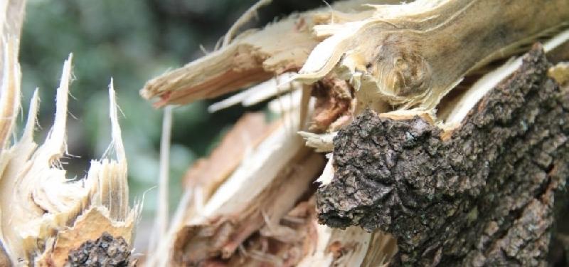 Скончалась пожилая смолянка, на которую рухнуло дерево