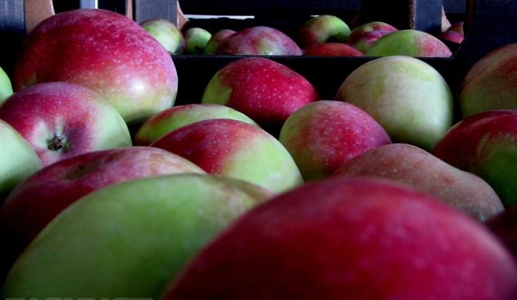 В Смоленскую область пытались ввезти 20 тонн санкционных яблок