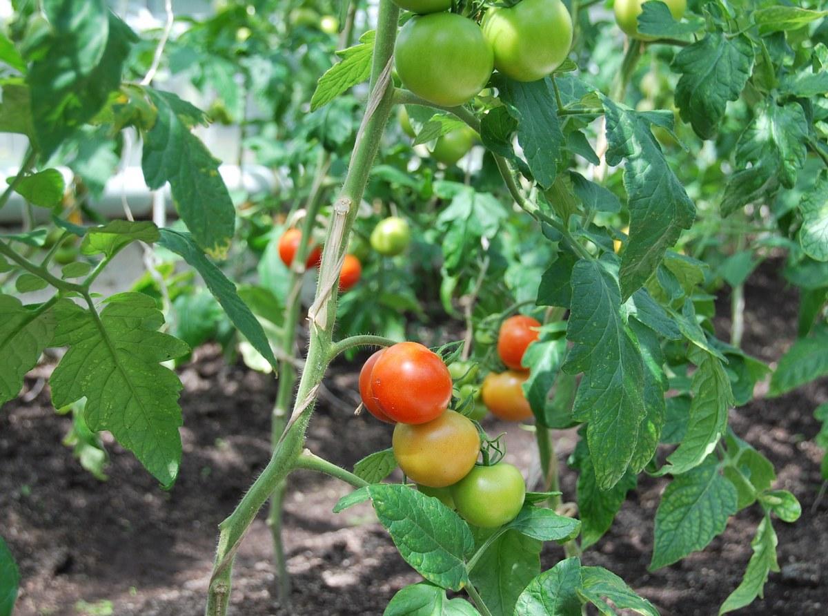 В одной из смоленских колоний осужденные готовы к уборке урожая помидоров