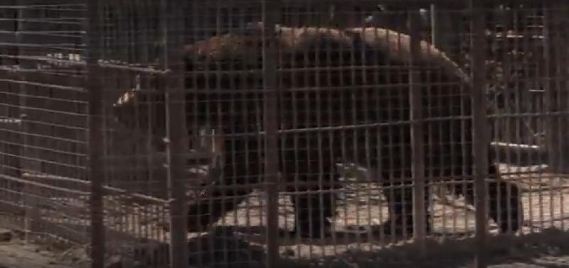 Смоленскому медведю Балу ищут лучшие условия содержания