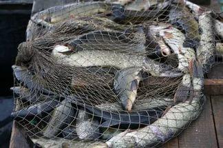 Смоляне незаконно поймали более 400 рыб