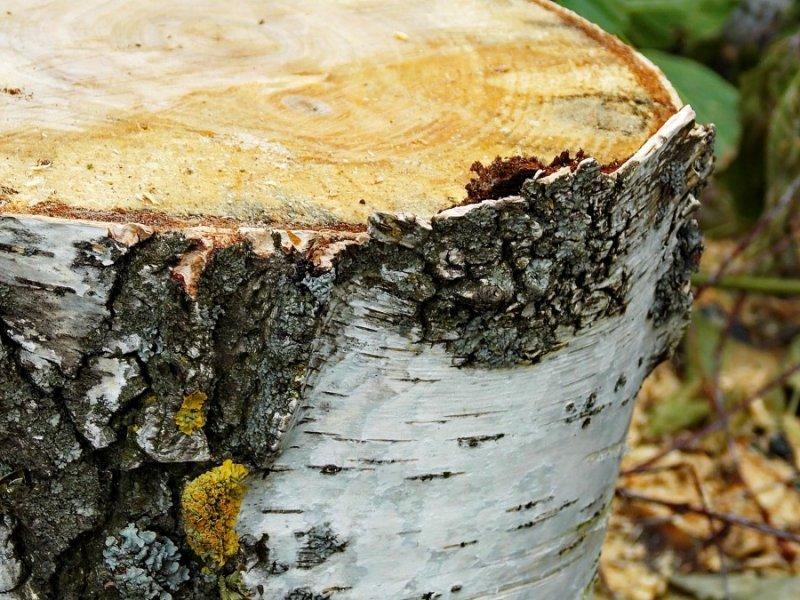 Полицейские задержали смолянина, сумевшего продать незаконно спиленные деревья