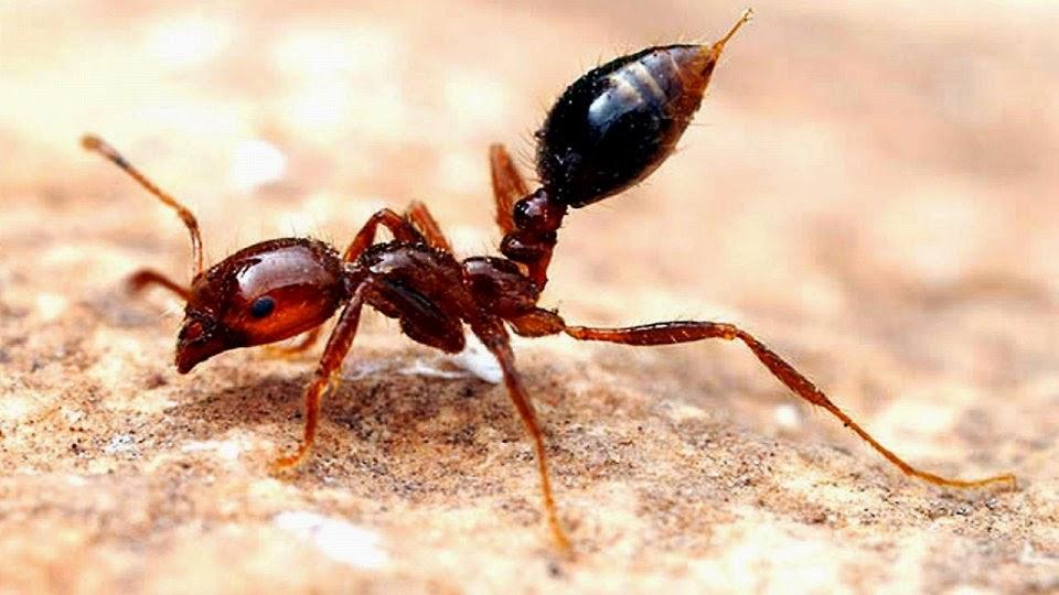 В японском порту обнаружили ядовитых огненных муравьев из Южной Америки