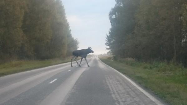 В Смоленской области два человека пострадали в ДТП с участием лося