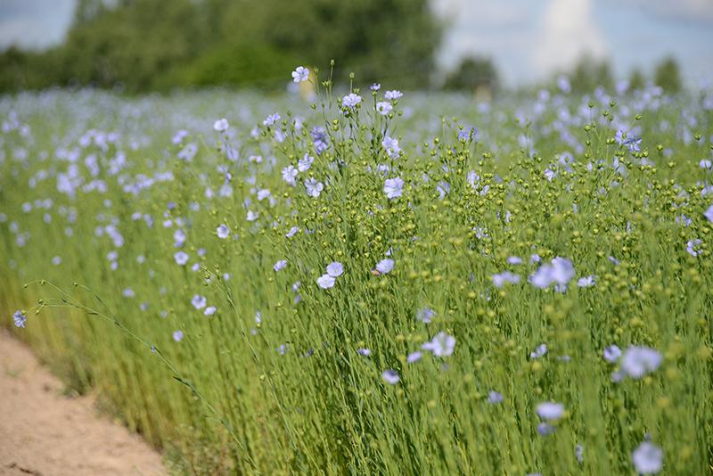 В Смоленской области производство льна-долгунца поддержат субсидиями