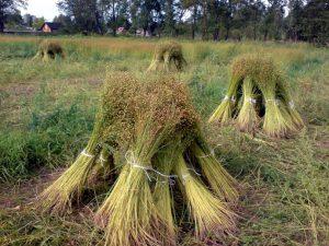 В Смоленской области субсидиями поддержат производство льна-долгунца