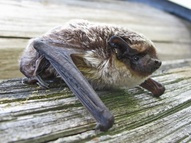 В «Смоленском Поозерье» окольцовывают летучих мышей