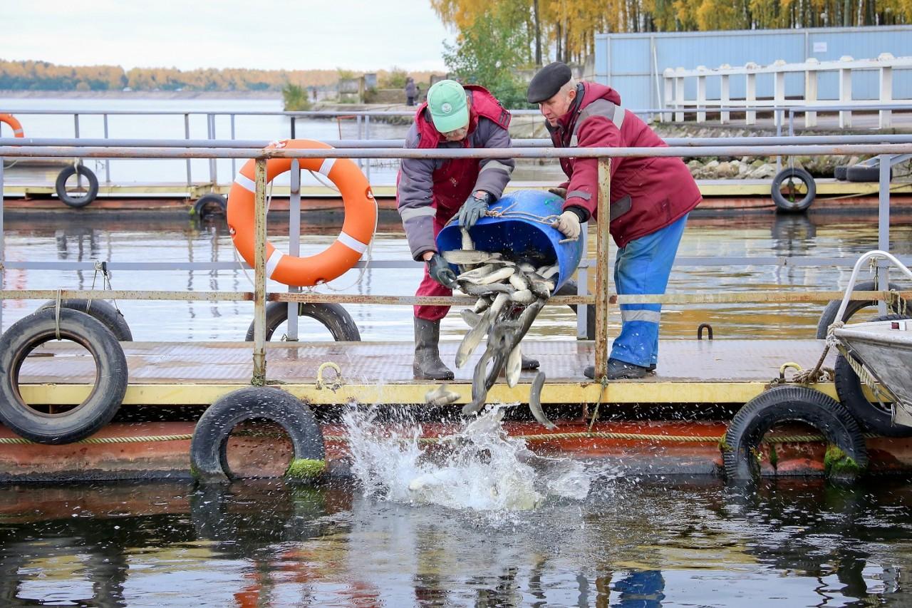 50 центнеров рыбы выпустят в водохранилище под Смоленском