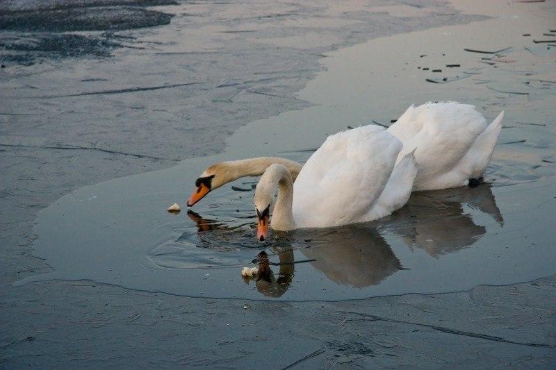Если птица вмерзла в лед. Местные власти прокомментировали ситуацию с лебедями под Смоленском
