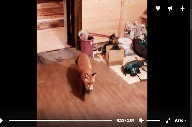 В Смоленске лис в поисках еды забрел в строящийся дом