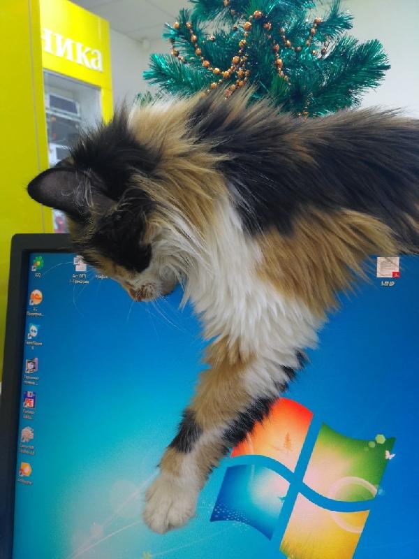 При покупке смартфона кошка в подарок. Смолянам предлагают взять питомца из магазина техники