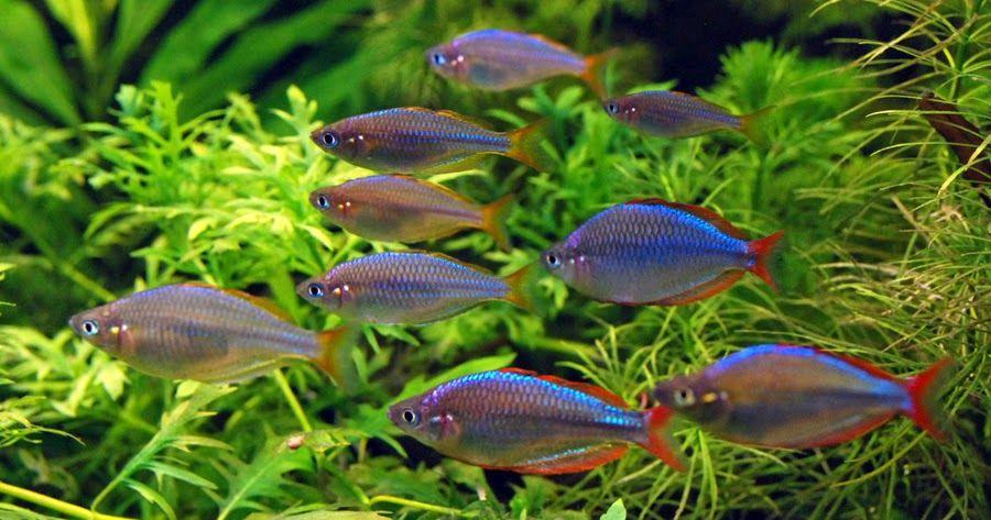 Немного об аквариумных рыбках