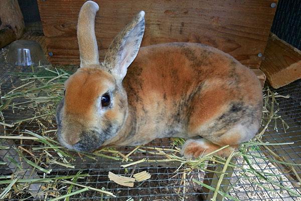 Содержание и разведение кроликов.