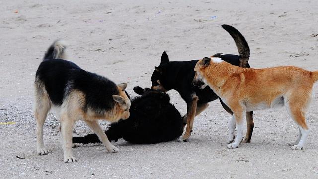 «Это просто кошмар, но никто не реагирует». Смоляне жалуются на стаю собак