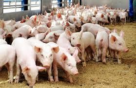 Правила разведения свиней