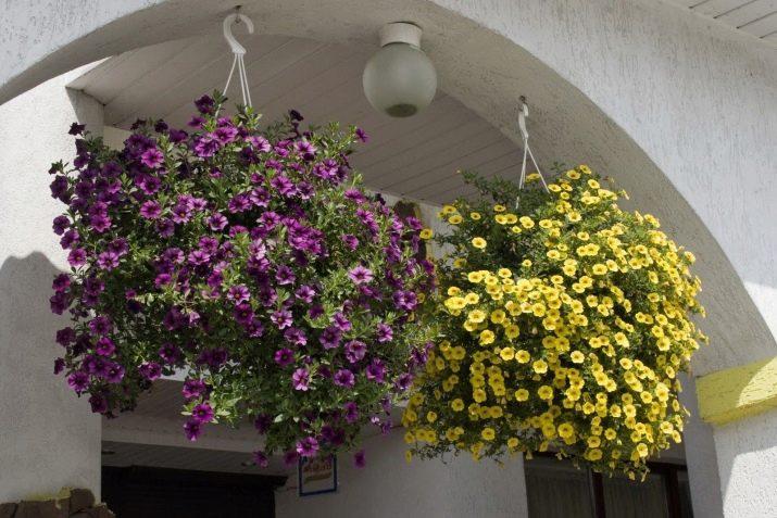 Ампельные растения, цветы для подвесных кашпо – хитрости и контрасты