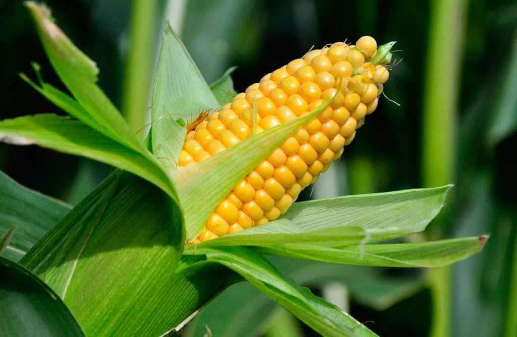 Кукуруза: технология посадки и правила ухода в открытом грунте