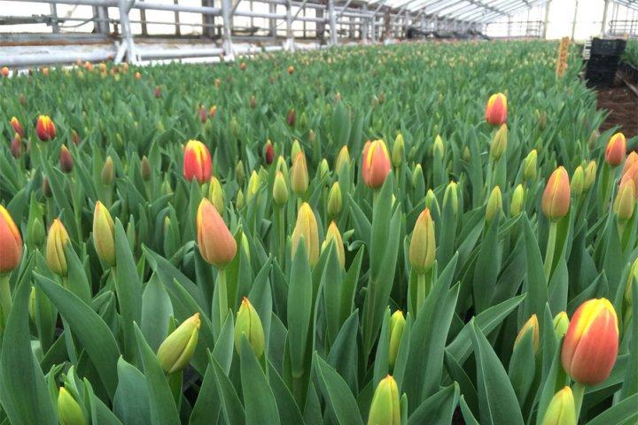 В Смоленском районе будут выращивать тюльпаны