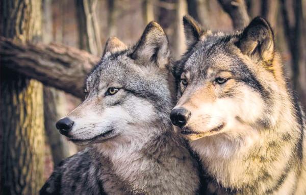 Волки «кошмарят» смолян