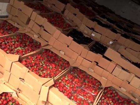 В Смоленской области уничтожили томаты, клубнику, ежевику и огурцы