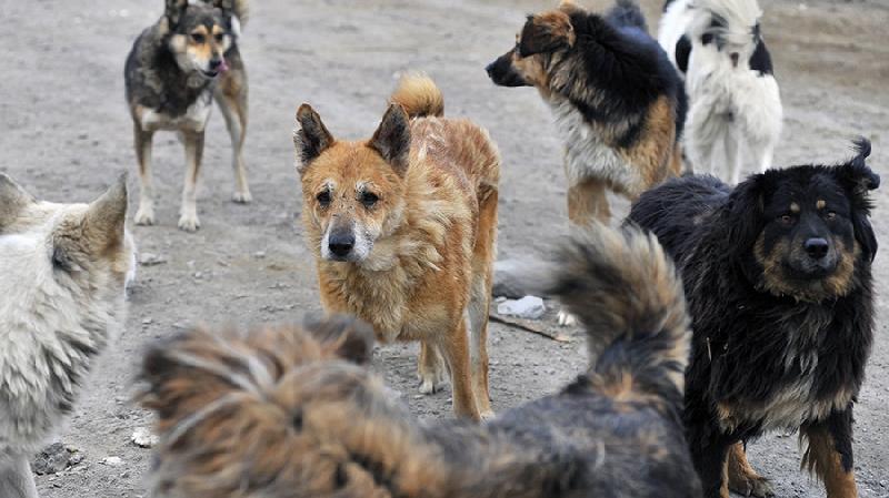 В центре Смоленска на женщину напала стая собак