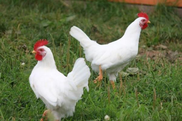 Разведение кур – традиционный домашний бизнес на селе!