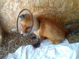 Смоляне спасли слепого лиса