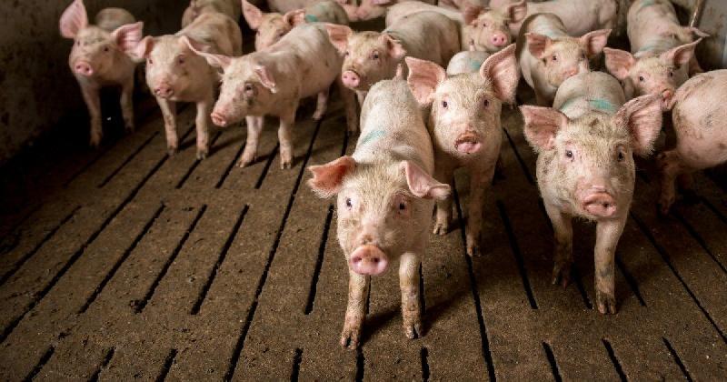 В Смоленской области приостановлена деятельность свиноводческого хозяйства