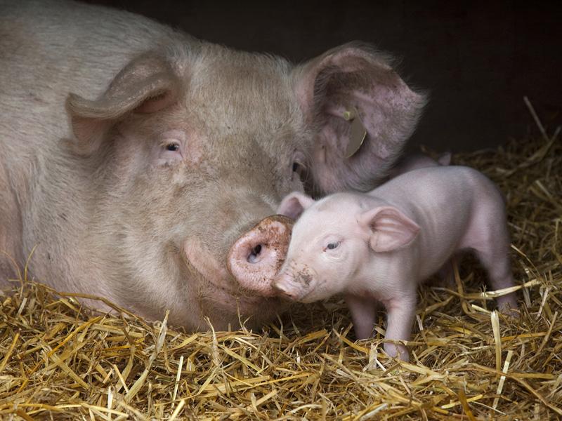 «Хрюши против». В Смоленской области временно закрыли свиноферму