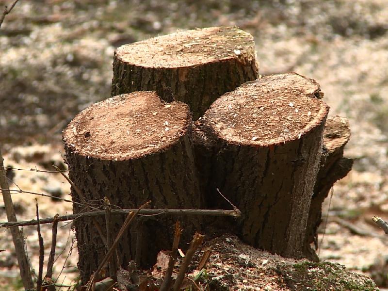 «Варвары, что натворили?». В Смоленске во дворе вырубили десяток деревьев