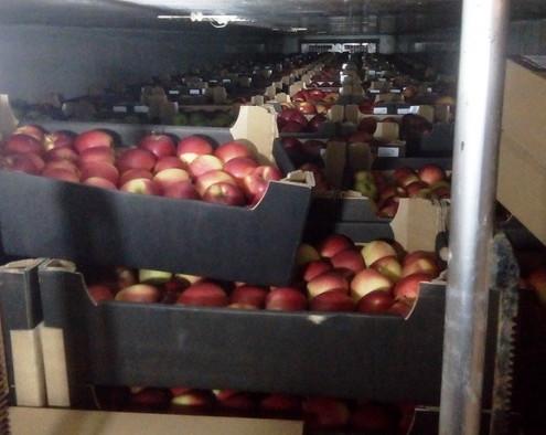 Яблоки и груши пытались ввезти в Смоленскую область под видом белорусских сладостей