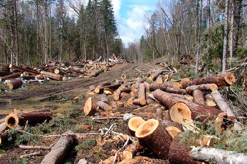 Greenpeace подсчитал вырубленный браконьерами смоленский лес