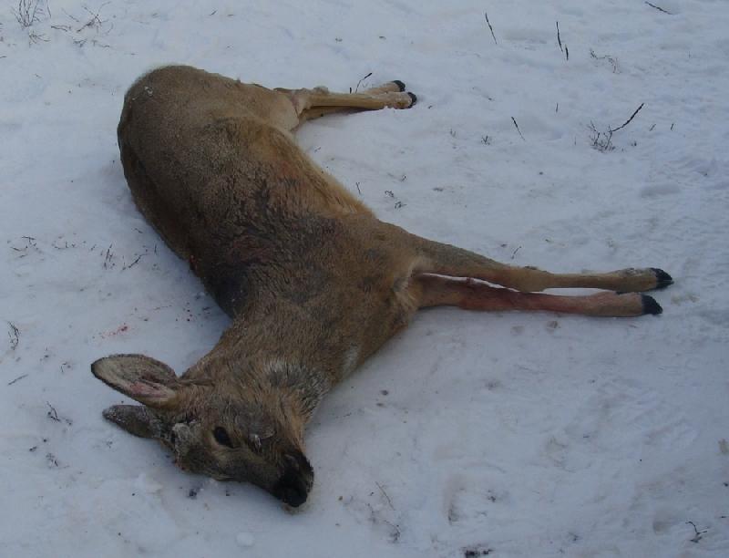В Смоленской области поймали браконьера, застрелившего косулю