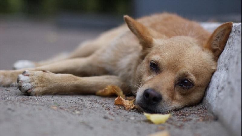 «У собаки начались конвульсии, проблемы с дыханием, вывалился язык». В Смоленской области орудуют догхантеры
