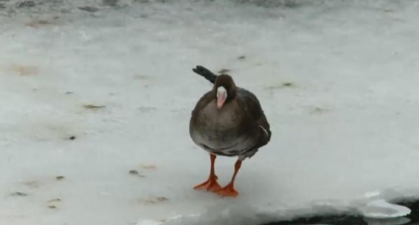 В парке в Смоленске замерзает раненная птица