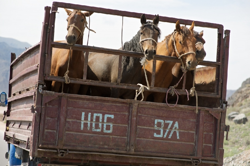 «Животных везли без корма и питьевой воды». Лошади из Белоруссии не доехали до Смоленска