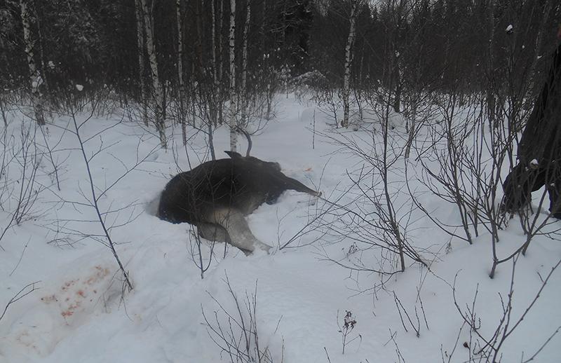 «Да это не я его застрелил». В Смоленской области браконьер убил оленя