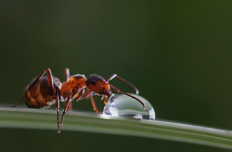 Почему смоляне разводят муравьев как домашних животных
