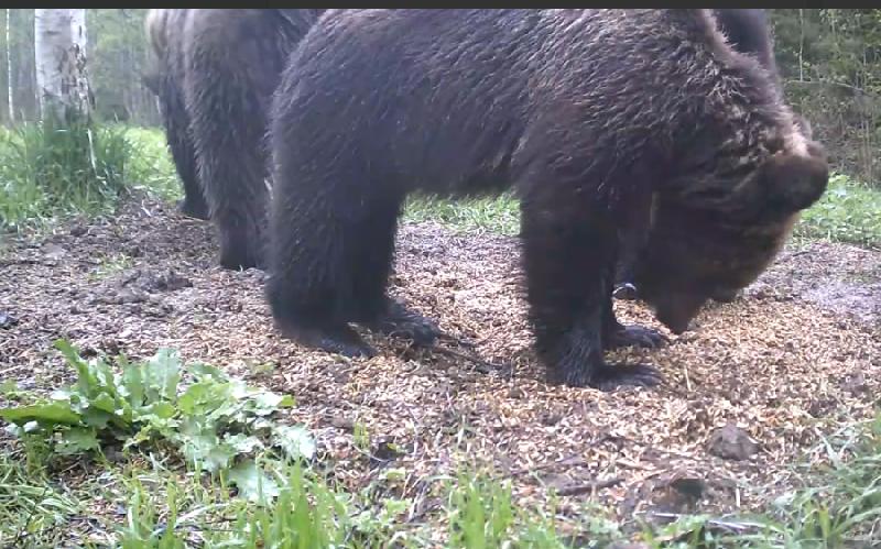 Смоленские медведи показали чудеса дисциплины
