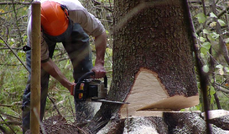 Черный лесоруб нанес полумиллионный ущерб смоленской природе