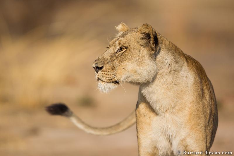 «Почти детектив». В Смоленской области из зоопарка сбежала львица?