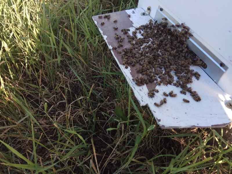 «Последствия угрожающие». В Смоленской области гибнут пчелы