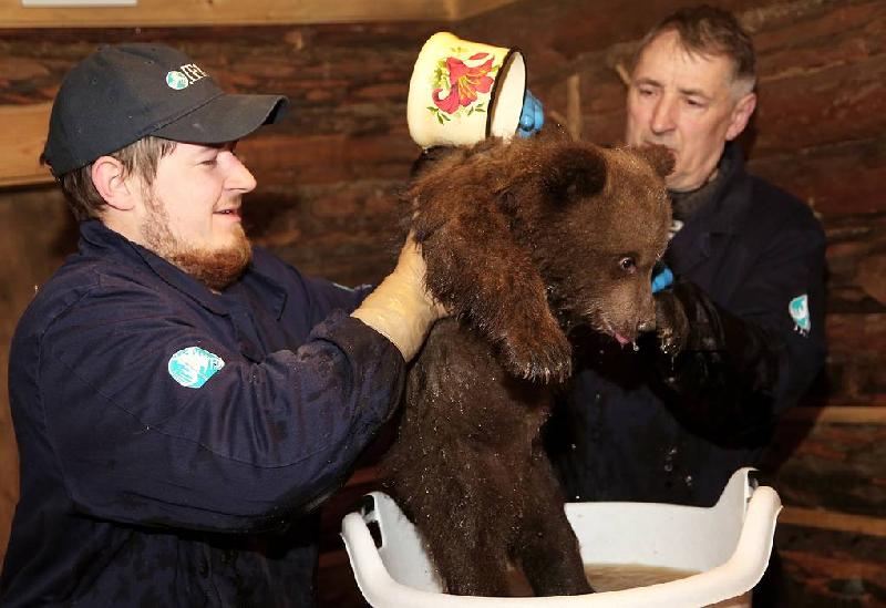 Смоленские медвежата-сироты вернутся на малую родину