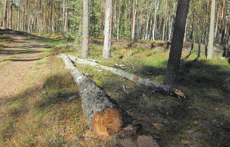 В Смоленской области лесоруба убило упавшим деревом