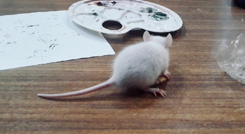 Смолянам предлагают купить шедевры, написанные крысами