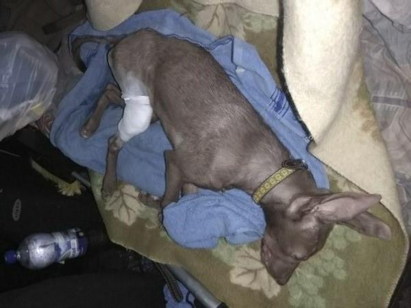 Смоленские зоозащитники спасают собаку, покалеченную хозяевами