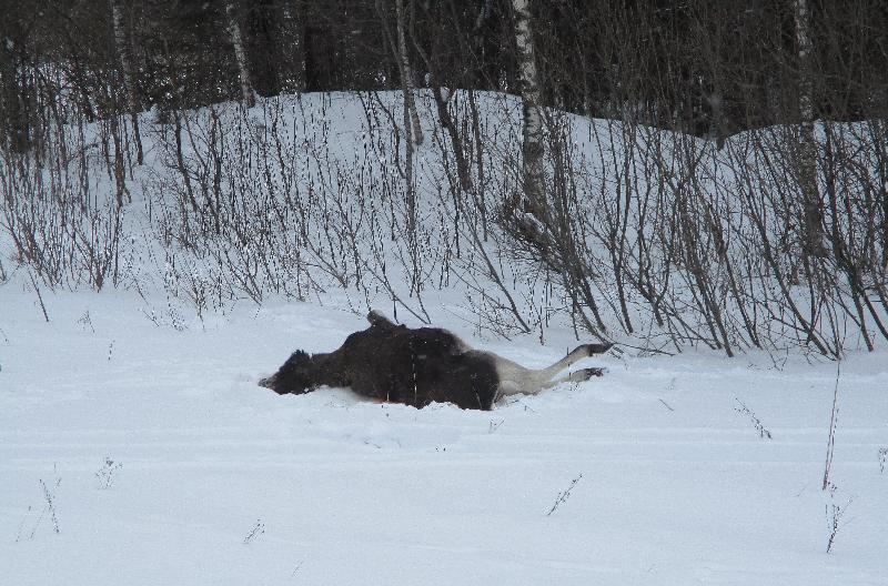 На новогодних каникулах охотинспекторы выявили браконьеров