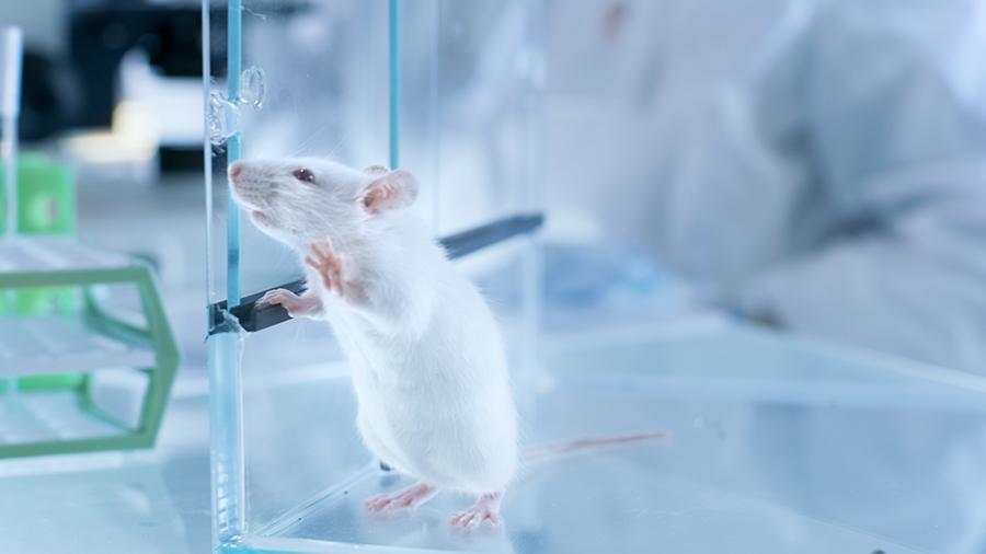 Мышей вылечили от диабета с помощью пересадки бета-клеток